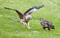 red-kite-and-buzzard-by-martin-roberts