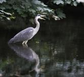 heron-fishing-by-martin-roberts-1