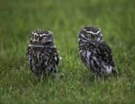 little-owls-by-martin-roberts-edit