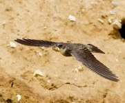sand-martin-cleaning-the-nest-by-martin-roberts2