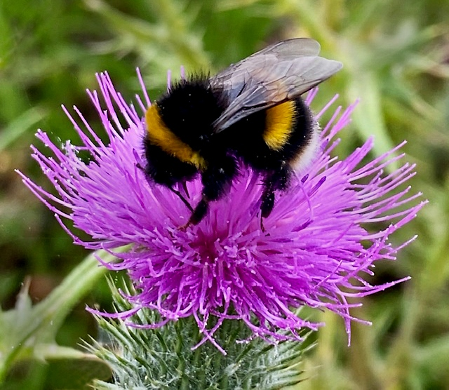 Michael-Lurie-Bumble-Bee-on-Thistle
