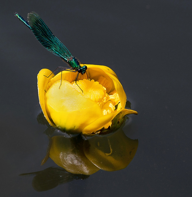 Michael-Lurie-Dragon-Fly-on-Lily-