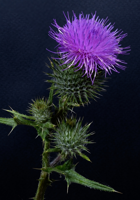 Michael-Lurie-Spear-Thistle