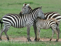 zebrafamily