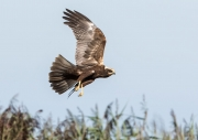MARSH HARRIER HUNTING by Roger Stelfox