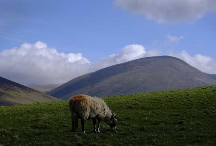 0017 sheep eye view