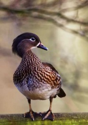 Female-Mandarin-Duck-by-Simon-Mee-