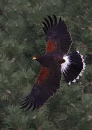 Harris-Hawk-by-Simon-Mee