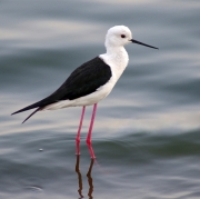 BLACK-WINGED-STILT-by-Veronica-Hill