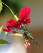 CUBAN-EMERALD-HUMMINGBIRD-by-Veronica-Hill
