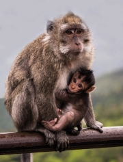 MACAQUE-MOTHER-AND-BABY-by-Veronica-Hill