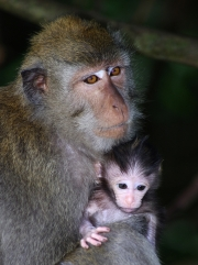 MACAQUE-MOTHER-AND-INFANT-by-Veronica-Hill