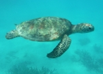 GREEN-TURTLE-IN-THE-GREAT-BARRIER-REEF-by-Veronica-Hill