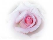 pink-rose-by-elena-drinnan
