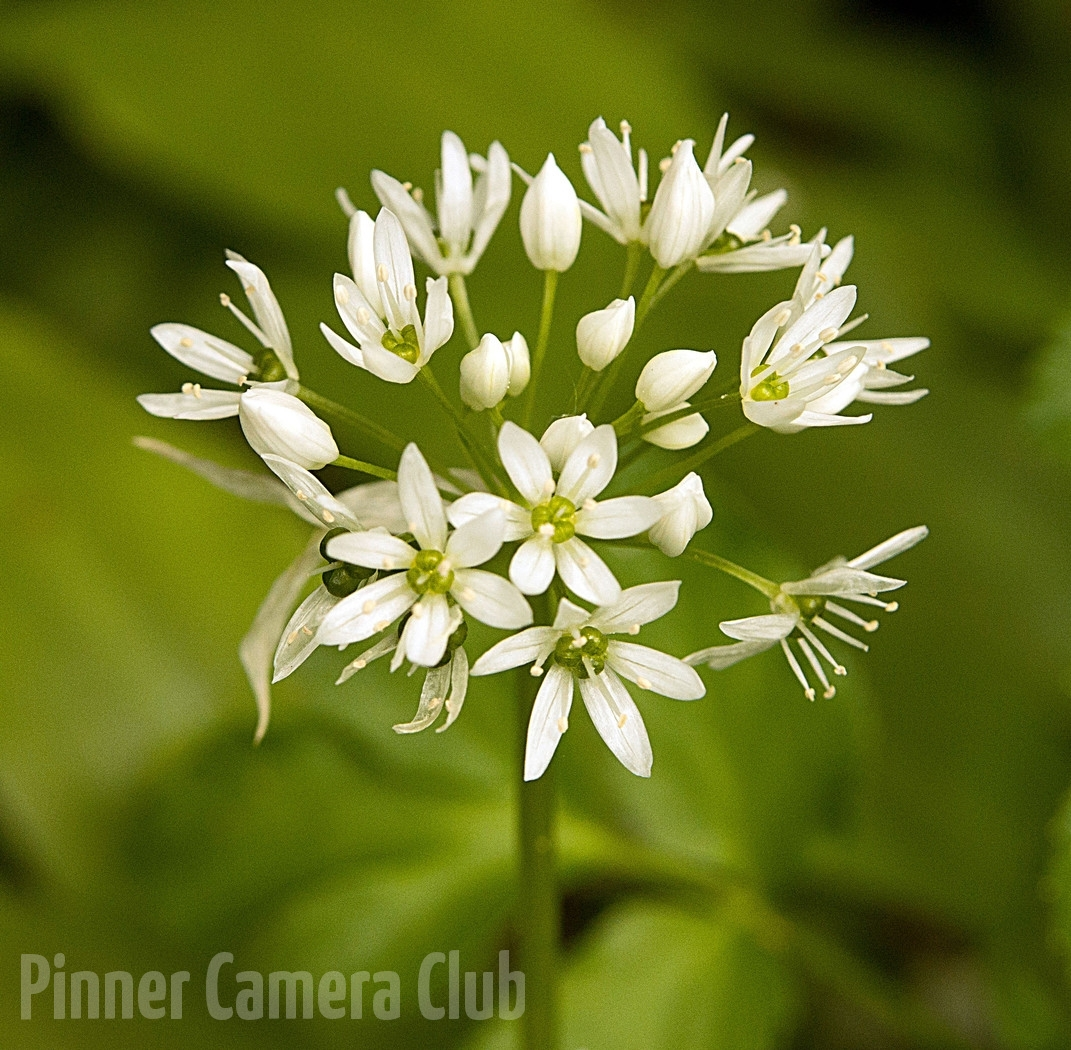 18. WILD GARLIC by Steve Cohen
