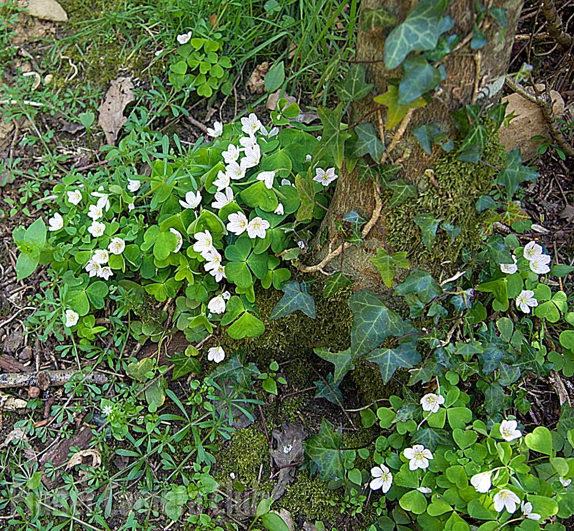 23. WOOD SORREL by Ann Wignall