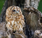 steve cohen - YOUNG TAWNY OWL by Steve Cohen