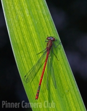 steve cohen - RED-BANDED DAMSEL-FLY by Steve Cohen