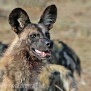 Elkan Kohn - WILD DOG by Elkan Kohn