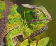 Chameleon by Michael Lurie
