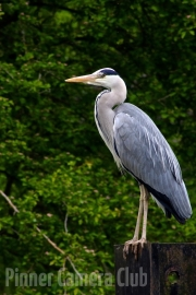 Heron Can Wait by Peter Myers