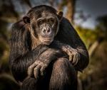 Watchful Chimpanzee