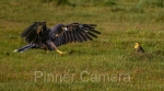 Striated Caracara & FieldFlicker