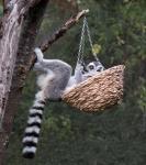15 Lemur In A Basket