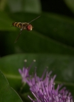 24 Hovering Hoverfly