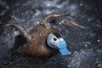 61 White Headed Duck In A Rush