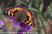 GATHERING-THE-POLLEN-By-Peter-Myers