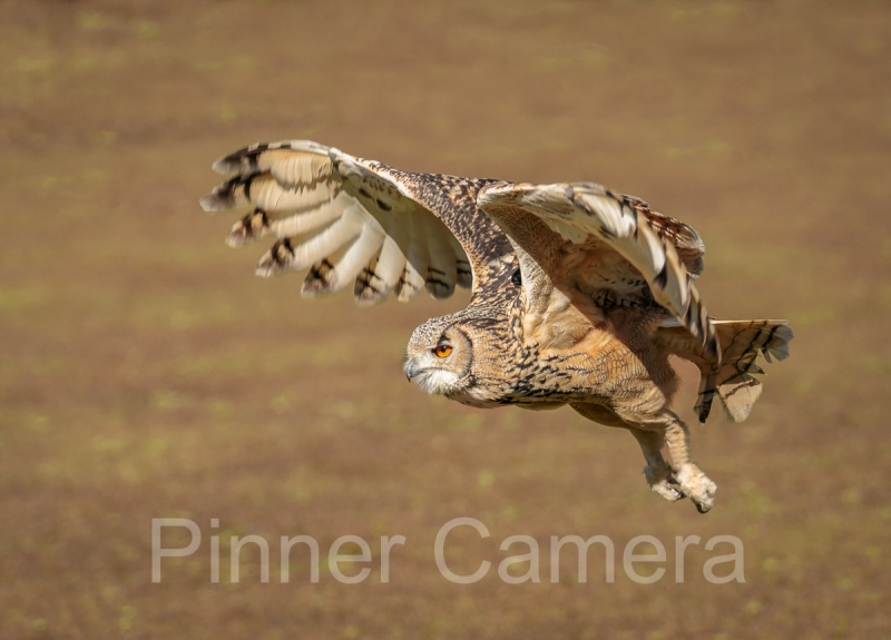 Bengal Eagle Owl in Flight