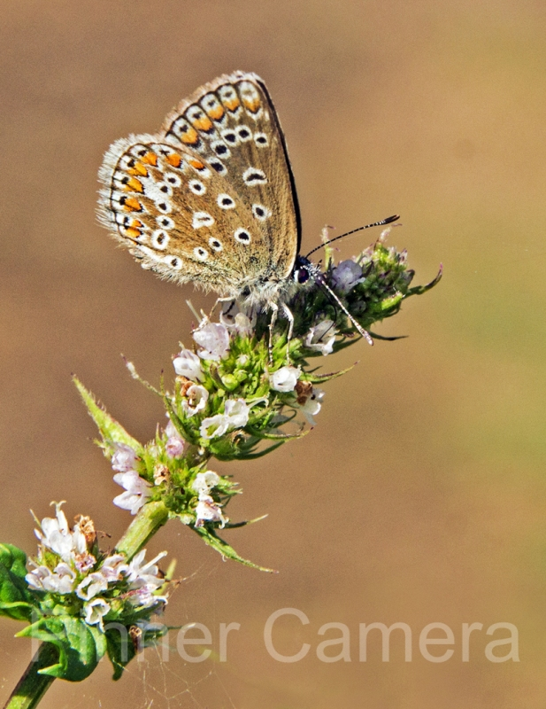 COMMON-BLUE-BUTTERFLY-by-Steve-Cohen