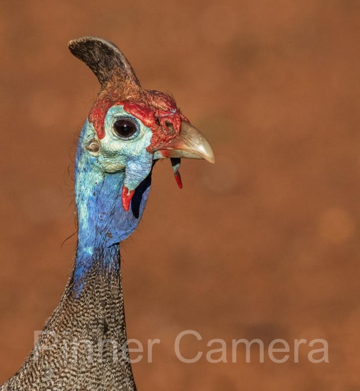 GUINEAFOWL-PORTRAIT-by-Lew-Wasserstein