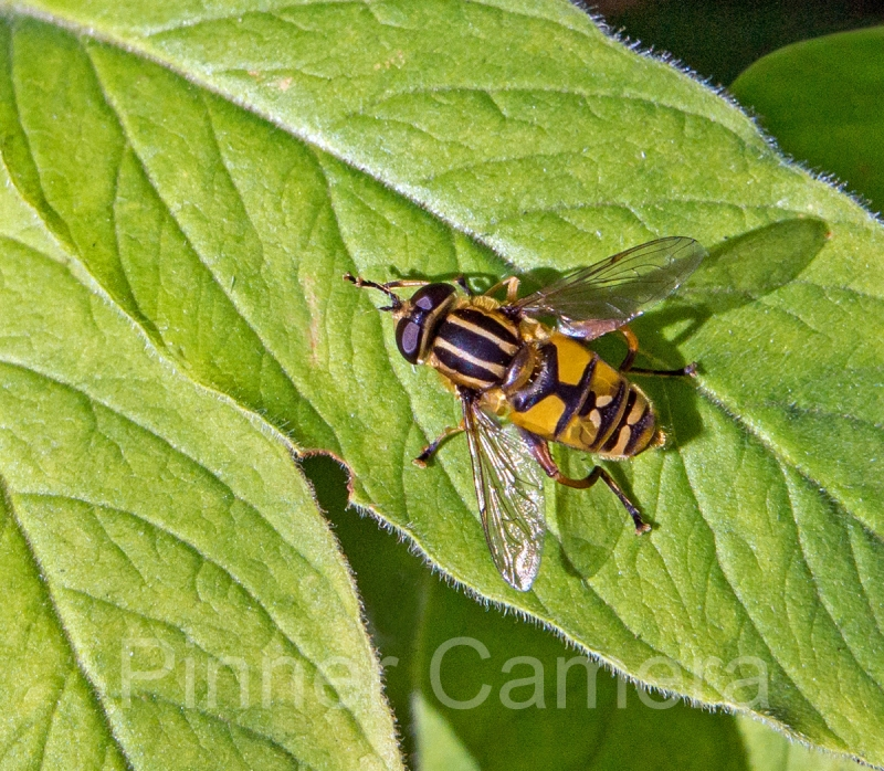 HOVER-FLY-by-Steve-Cohen