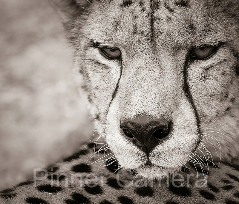 Natalie-Levy-ORPHANED-CHEETAH-SYLVESTER-by-Natalie-Levy