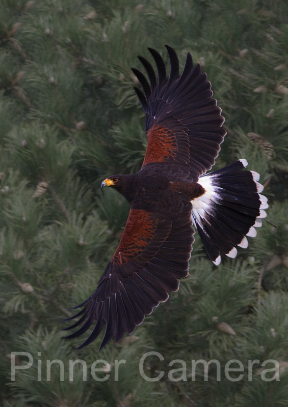Simon-Mee-Harris-Hawk-by-Simon-Mee