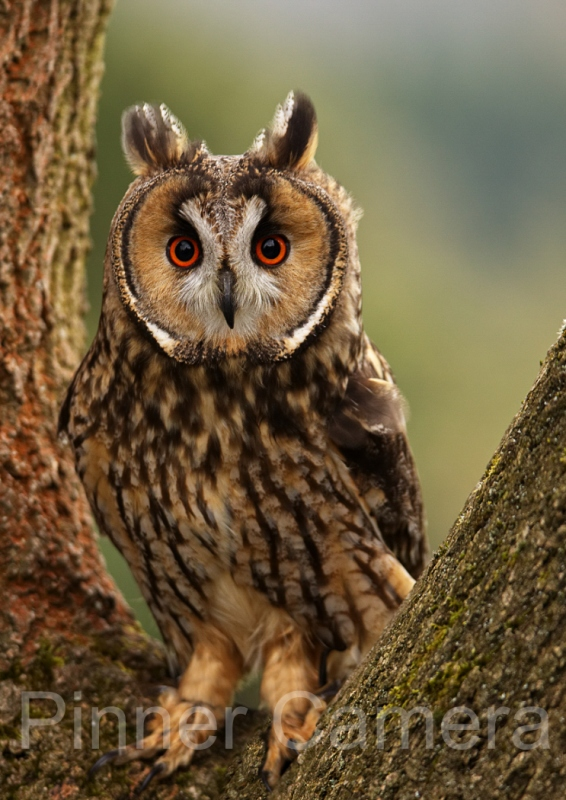 Simon-Mee-Long-Eared-Owl-by-Simon-Mee