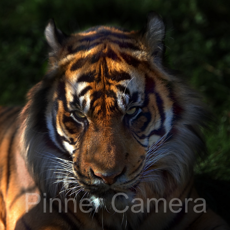 Simon-Mee-Tiger-Stare-by-Simon-Mee
