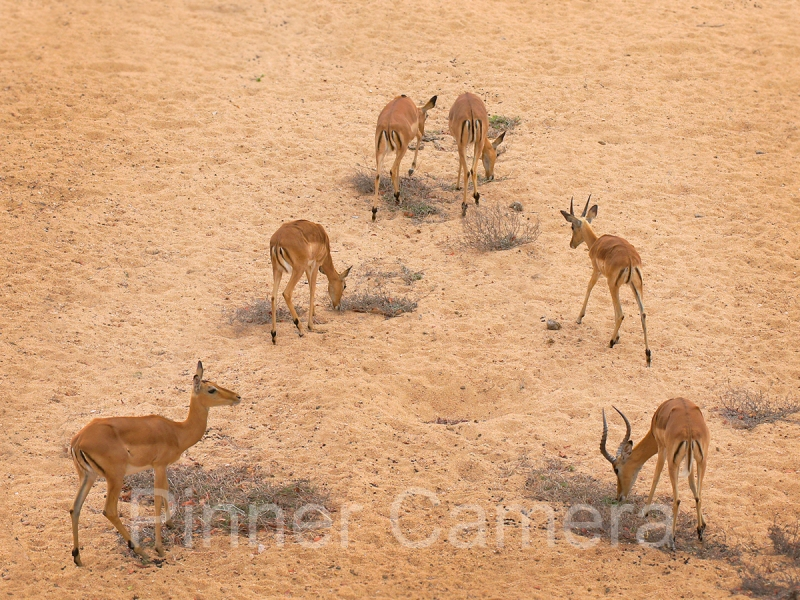 les-spitz-IMPALA-ON-A-DRY-RIVER-BED-by-Les-Spitz