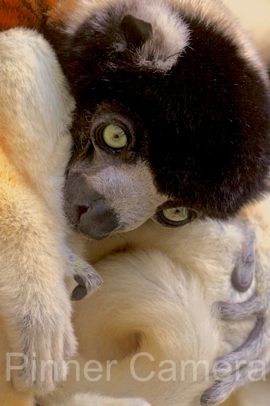 peter-myers-YOUNG-LEMUR-by-Peter-myers