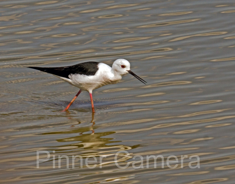 steve-cohen-BLACK-WINGED-STILT-by-Steve-Cohen
