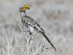 Yellow Billed Hornbill