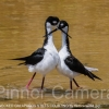 BLACK-NECKED-GALAPAGOS-STILTS-COURTING-by-Veronica-Hill