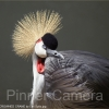 CROWNED-CRANE-by-Les-Spitz