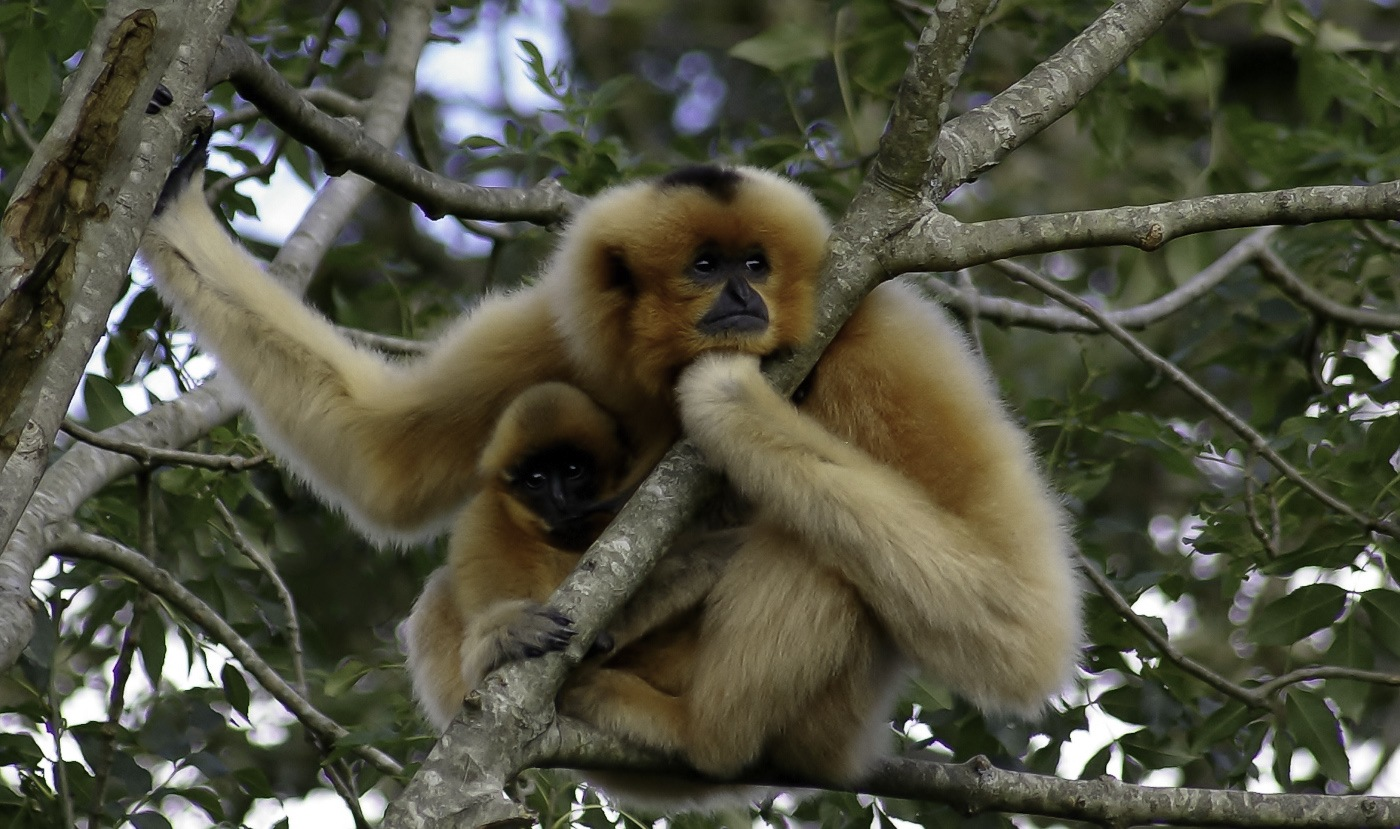 Golden-Cheeked-Gibbon-Infant