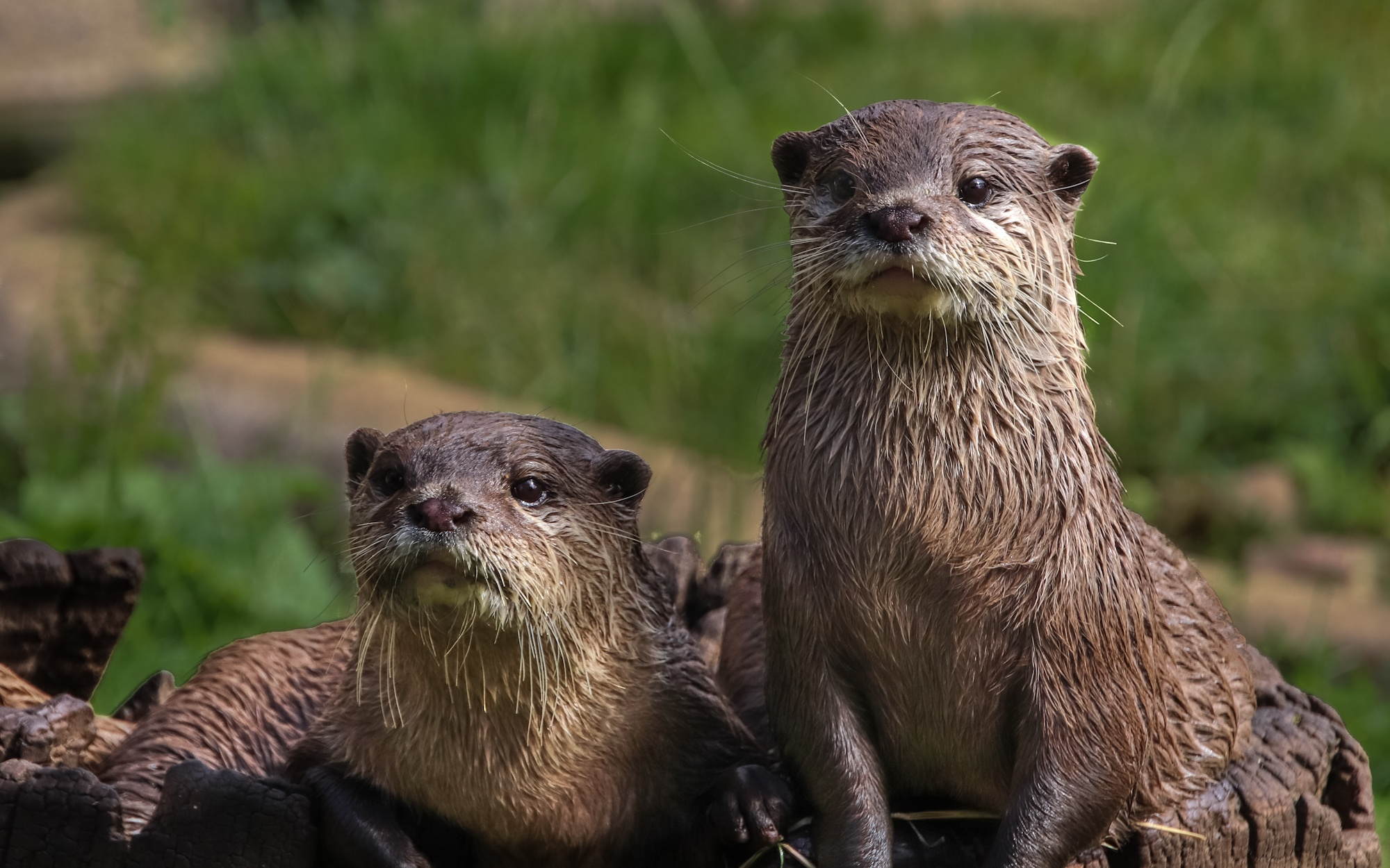 Inquisitive Otters