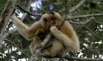 Golden-Cheeked-Gibbon-Infant