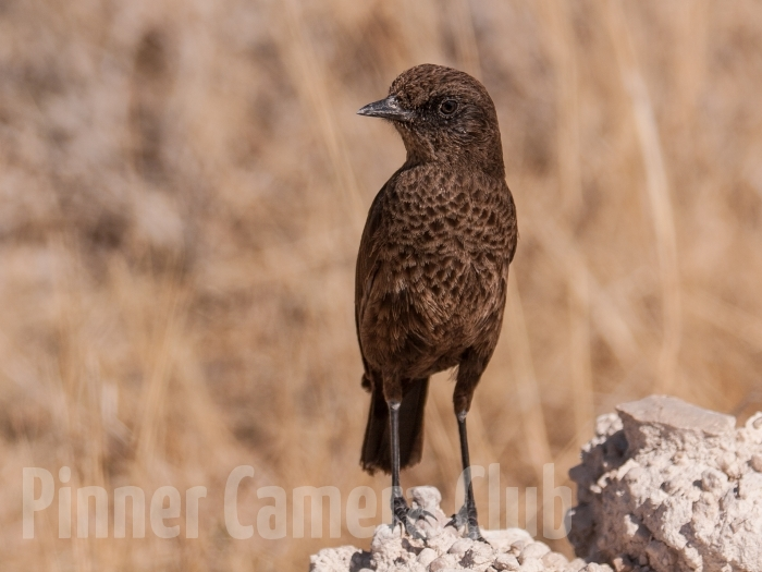 ANT EATING CHAT NAMIBIA