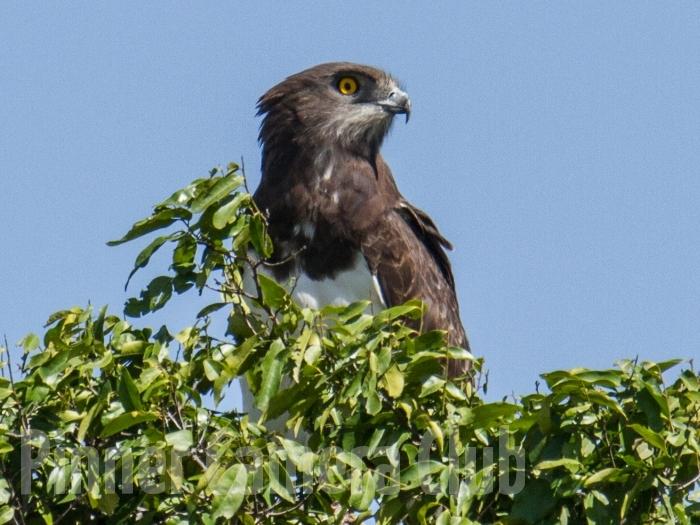 Black Chested Snake Eagle KENYA